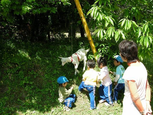 弥富保育園の山羊と子ら