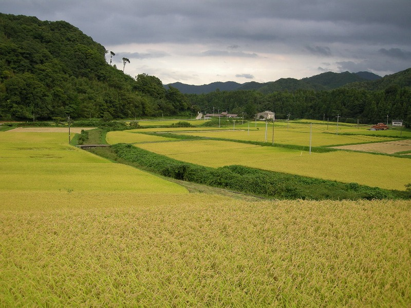 稲刈りの9月