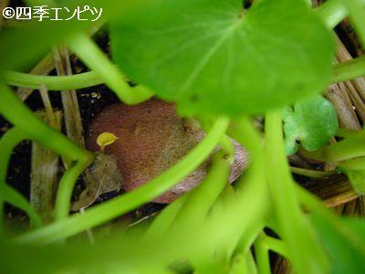 20110605 サツマイモ 3