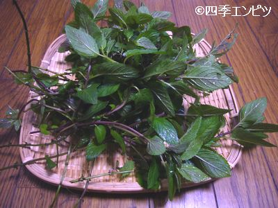 20110611 ペパーミント 収穫