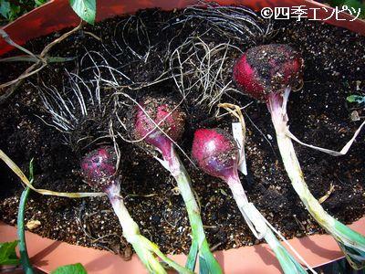 20110611 赤タマネギ 収穫前作業 2