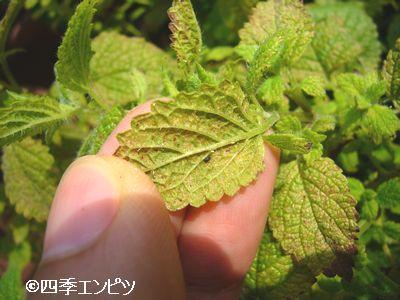 20110611 レモンバーム ハダニ