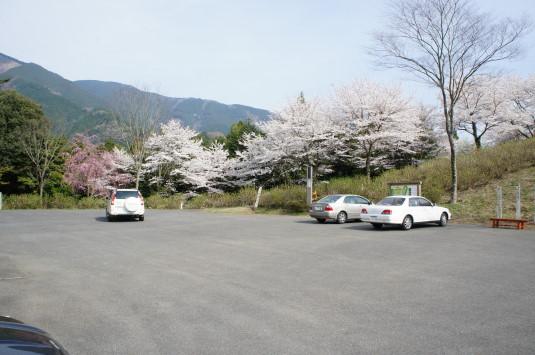 桜 うつぶな公園 駐車場