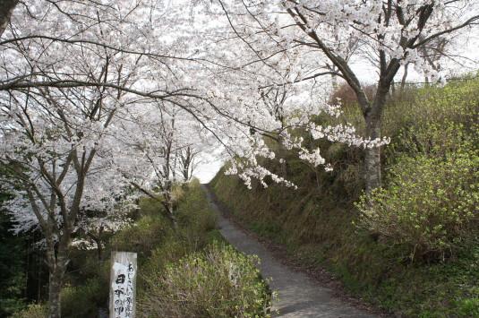 桜 うつぶな公園 入口