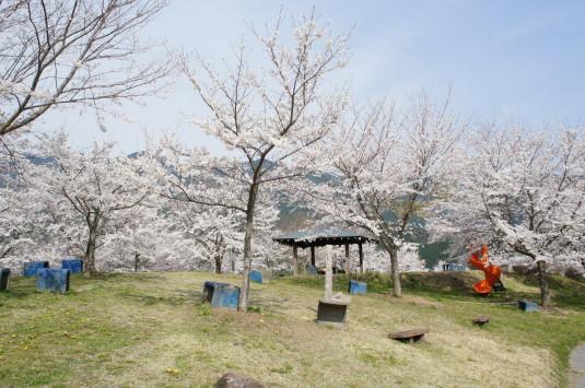 桜 うつぶな公園 上の様子