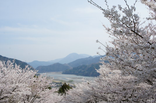 桜 うつぶな公園 富士川南側