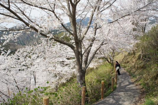 桜 うつぶな公園 遊歩道