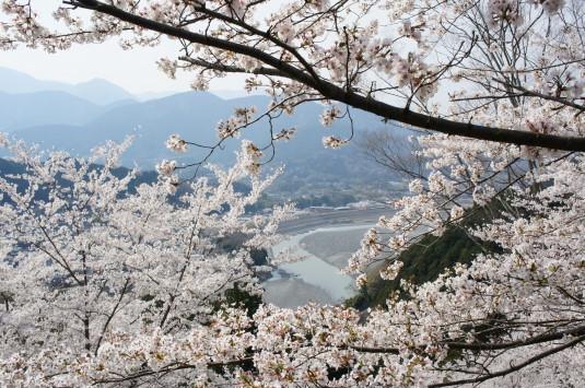 桜 うつぶな公園 富士川北側