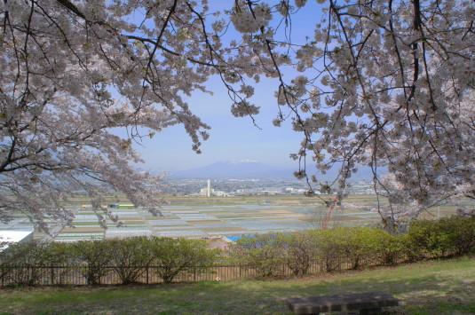 桜 波場公園 桜と眺め