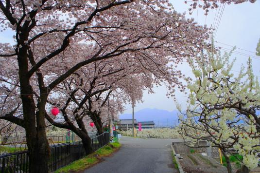 桜 徳島せぎ 桜と李の並木道