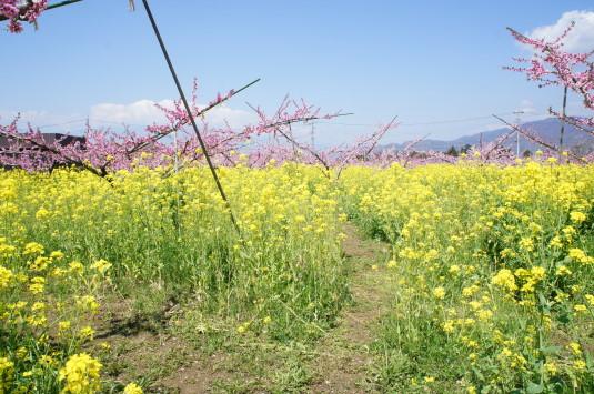 桃の花 グレープハウス 道