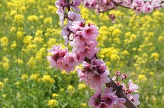 桃の花 グレープハウス 桃の花