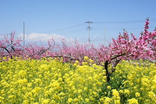 桃の花 グレープハウス 桃と菜の花