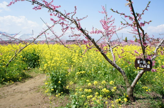 桃の花 グレープハウス 花畑入口