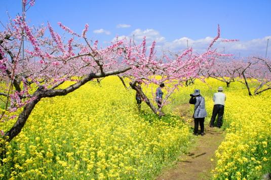 桃の花 埋草神社 立ち入り