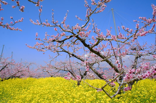 桃の花 埋草神社 桃畑
