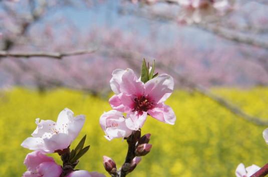 桃の花 埋草神社 桃の花
