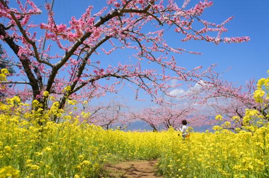 桃の花 埋草神社 ローアングル