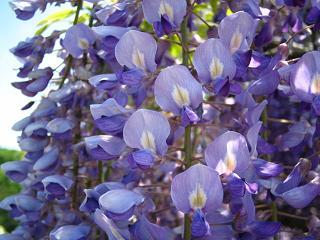 asikagaflower212