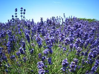 lavender201