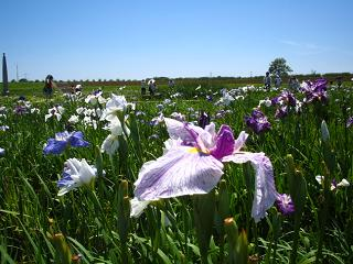 lavender204