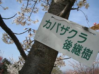 takaosakura203