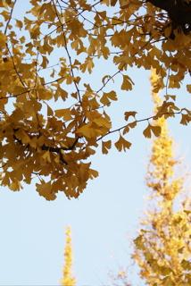 外苑 銀杏並木