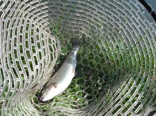 大会サイズのお魚