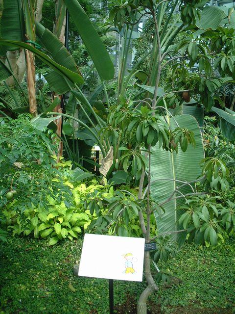サポジラ(チューインガムの木)
