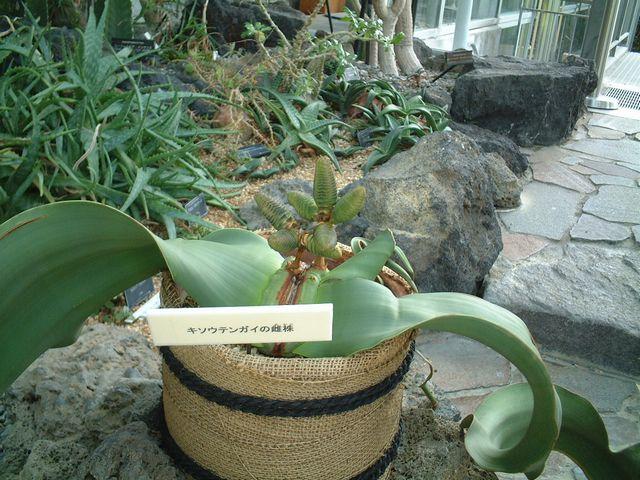 砂漠の長生き植物