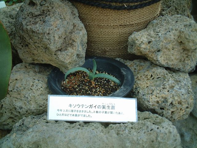 キソウテンガイの苗