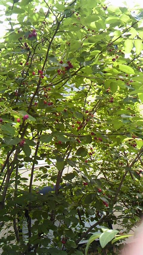 庭のジューンベリー