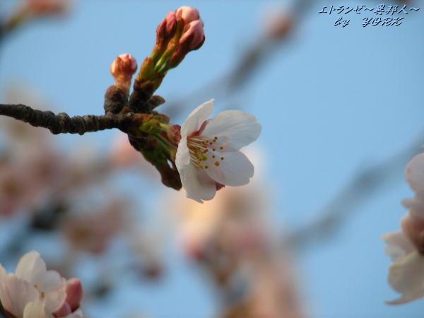 0122桜一輪110403