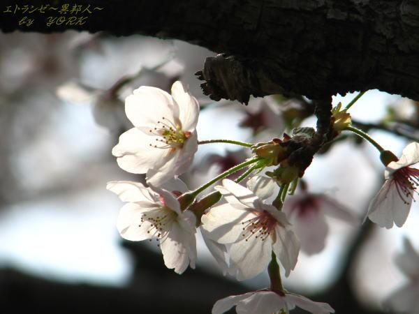 0266桜一枝110410