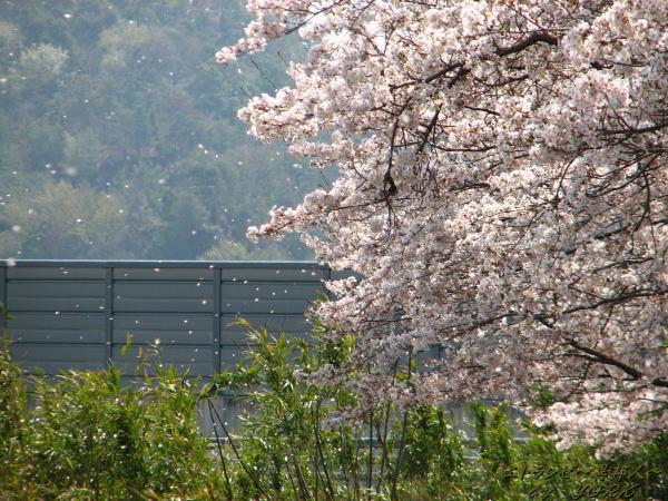 0247桜散る110410