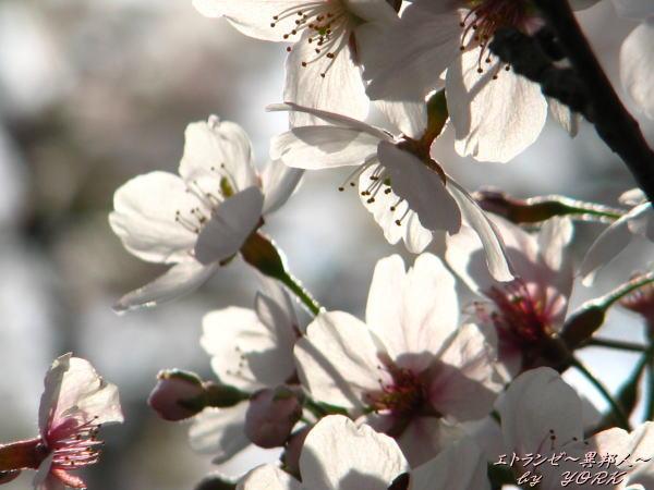 0286桜下向きに110410