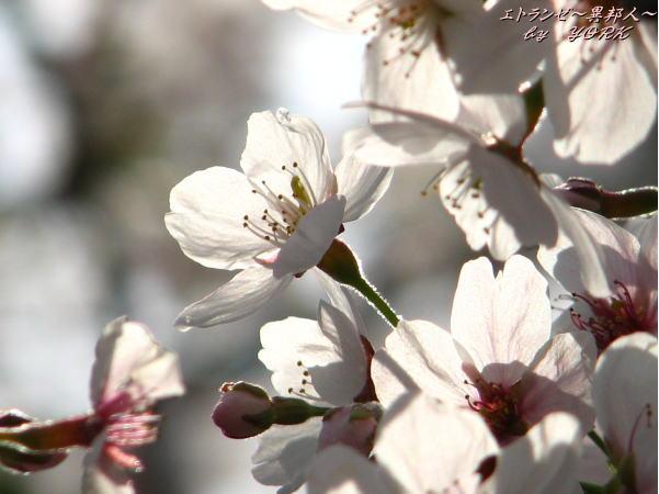 0273桜光に透けてアップ110410