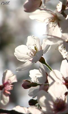 携帯用 0273桜光に透けて240×400