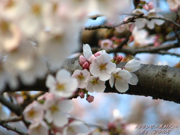 0071桜枝にひとつ110403
