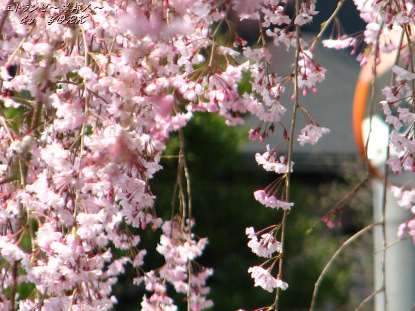 0358枝垂れ桜110420