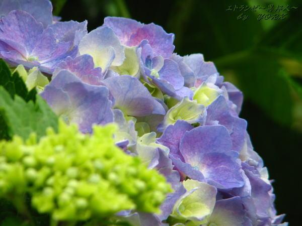 0991紫陽花110612