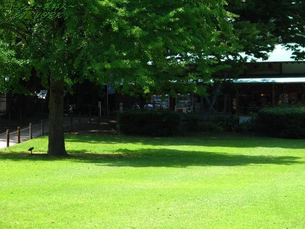 1055一本の木と陰110624