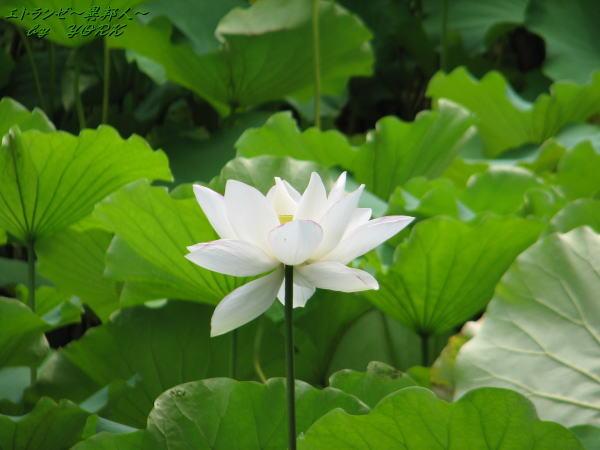 1322白い蓮の花110726