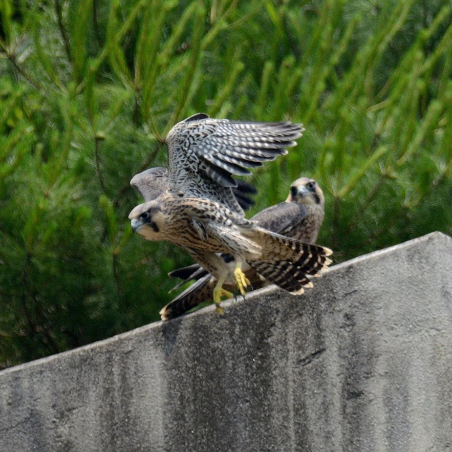falcon110x_002.jpg