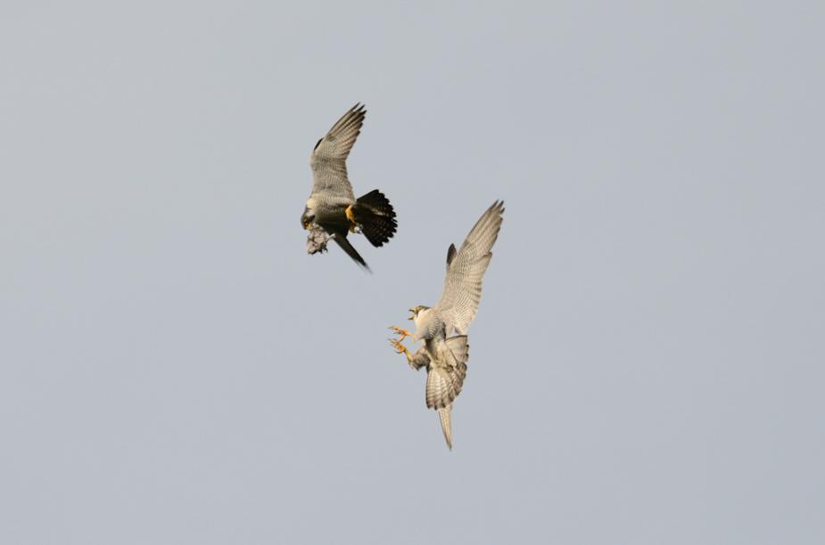 falcon110x_004.jpg