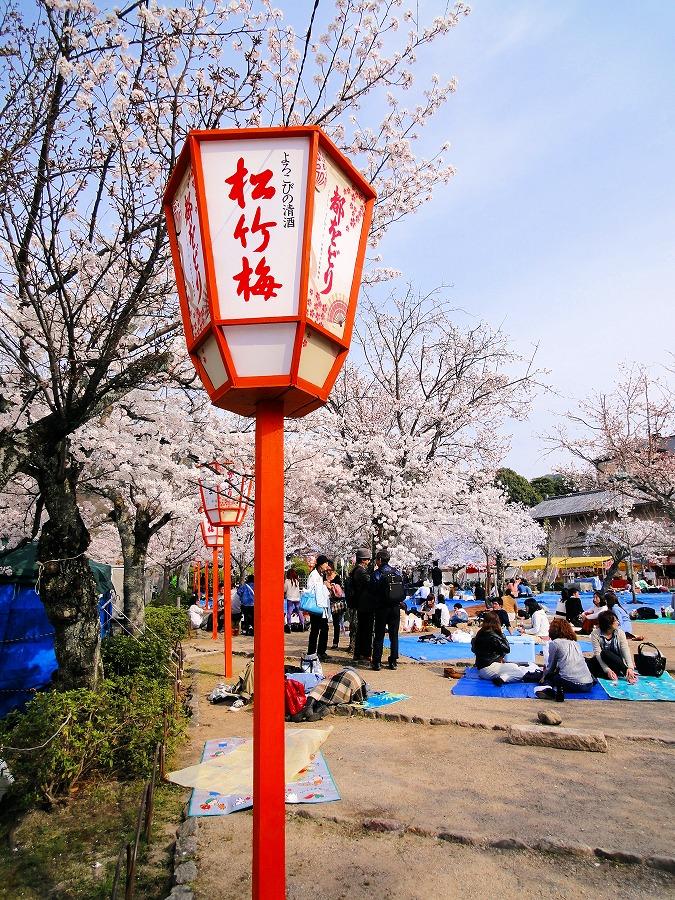 八坂桜01