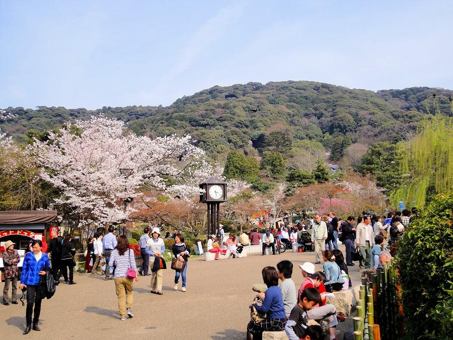 八坂桜東山