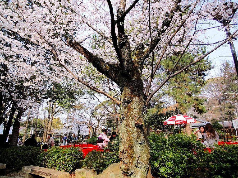 八坂桜03