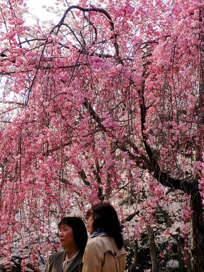 八坂桜06