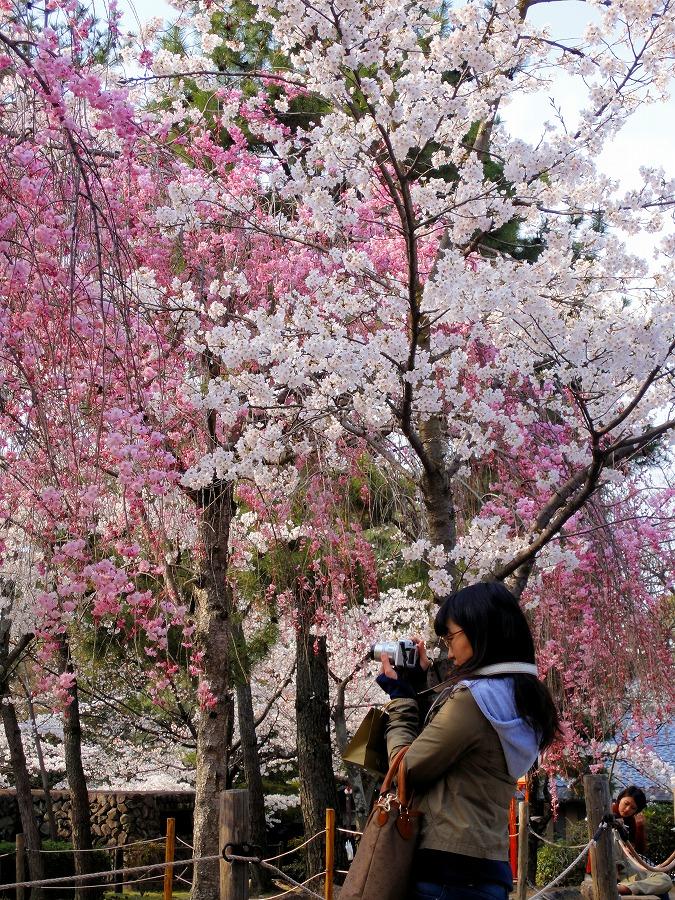 八坂桜07